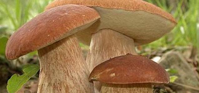 funghi-porcini-637x298